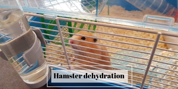 Dehydration In Hamsters – Signs, And How To Treat It