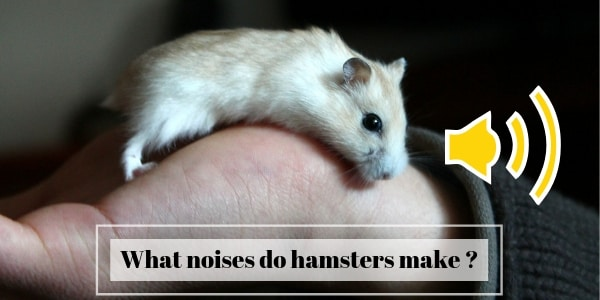 What Noises Do Hamsters Make ? Get To Know Your Hamster