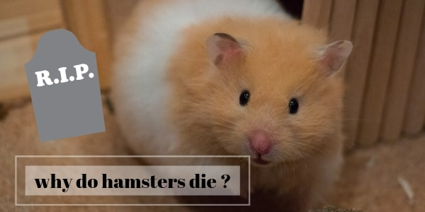 Why Hamsters Die (Main Reasons, Some Of Them Preventable)