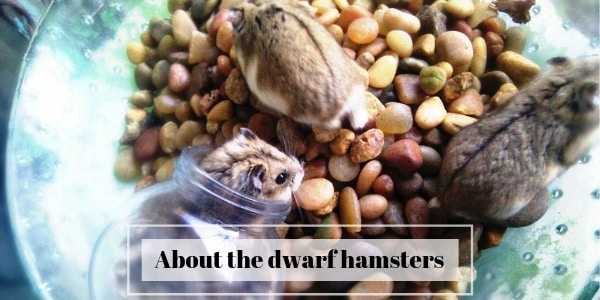 About The Dwarf Hamsters – Roborovski, Djungarian, Campbell
