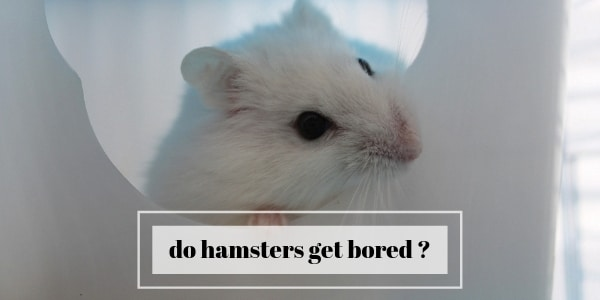 Do Hamsters Get Bored ? How To Keep Your Hamster Entertained