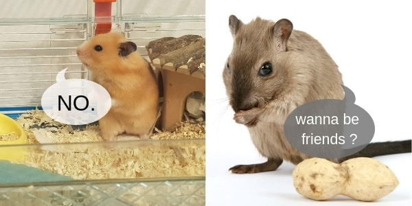 Can Hamsters And Gerbils Live Together ? An Owner's Guide