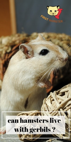 can hamsters live with gerbils (2)