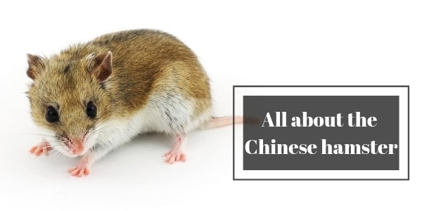 All About The Chinese Hamsters (Breed Info + Care Tips)