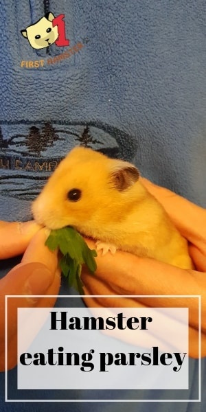 hamster eating parsley