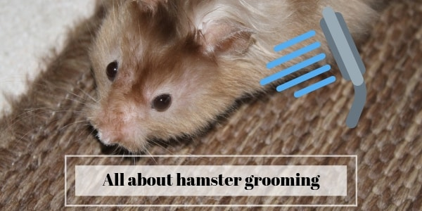 hamster grooming and sand bath (3)