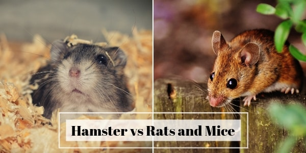 Hamster vs Rats And Mice – Which Should You Keep As Pets ?