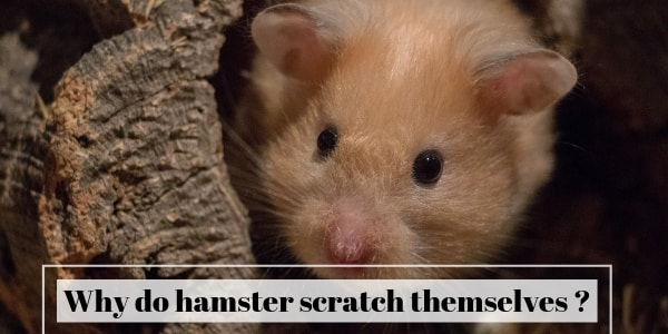 Why Do Hamsters Scratch Themselves ? About Your Hammy's Fur