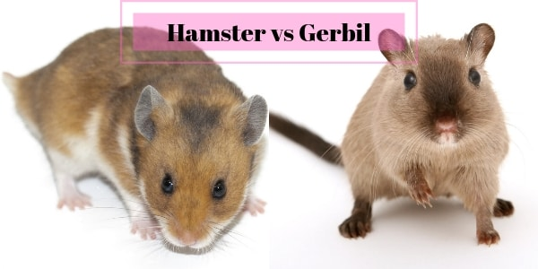 Hamster vs Gerbil – Which Is A Better Pet For You ?
