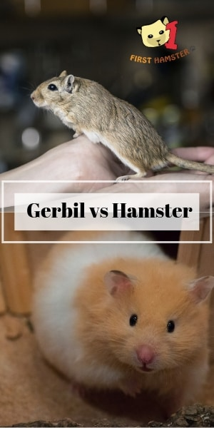 hamster vs gerbil as pet (2)