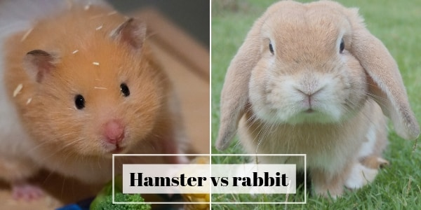 Hamster vs Rabbit – Which Is The Best Pet For Your Home ?