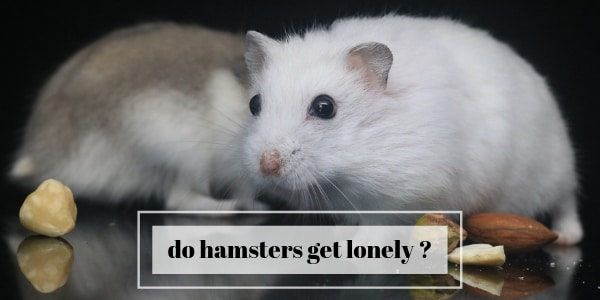 Do Hamsters Get Lonely ? Buddies And Toys For Your Hamster