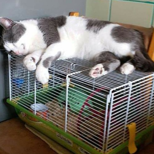 keeping hamster with cat (3)