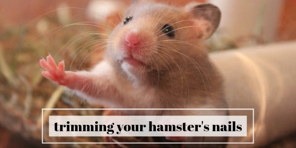 Why You Should Trim Your Hamster's Nails, And How To Do It