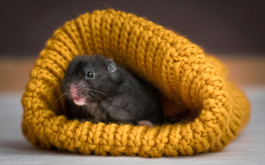 10+ Best Ways to Keep Hamsters Warm