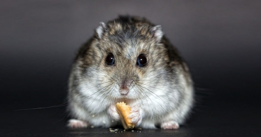Dwarf Hamster Feeding Guide: Everything You Need to Know