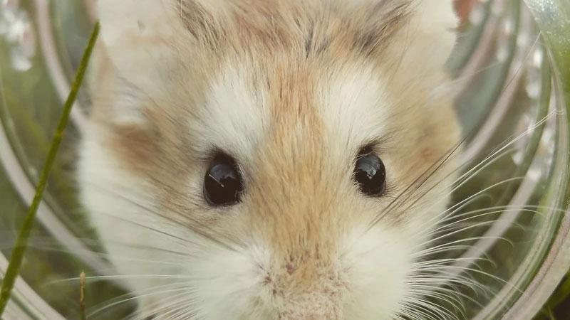 Understanding Syrian Hamster Behavior – An Owner's Guide