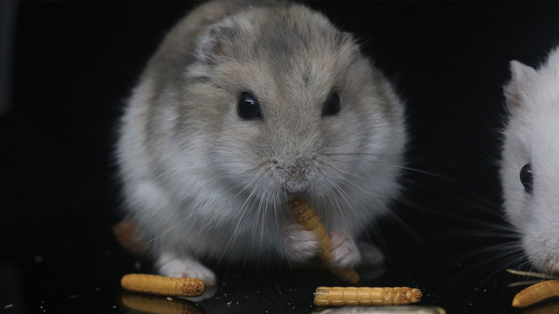 Syrian Hamster Feeding Guide Everything You Need to Know