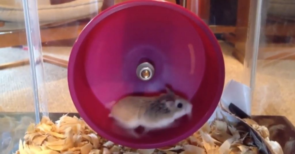 The Real Reason Hamsters Like Wheels