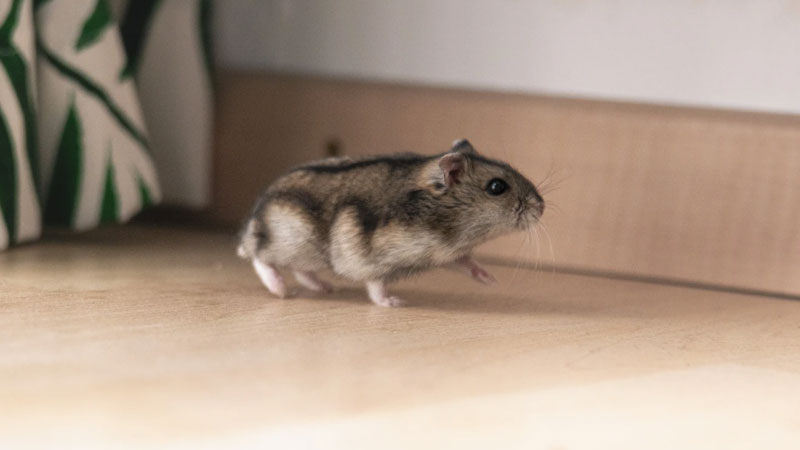 These Are The 4 Best Hamsters For Beginners