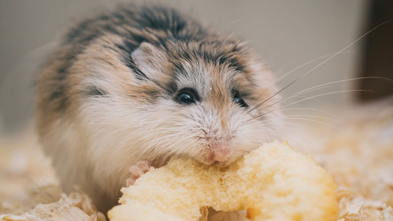 Training a Hamster: Everything You Need to Know