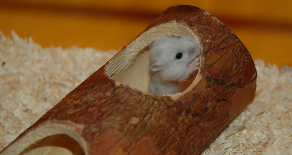 Ultimate Guide to Breeding Syrian Hamsters