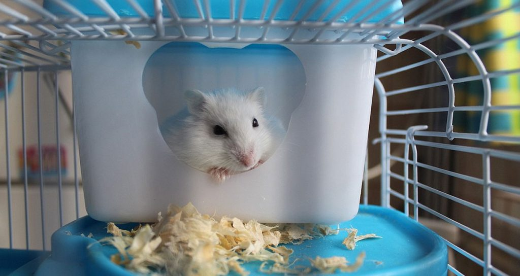 Why Does Your Hamster Have Diarrhea? Here Are the Facts